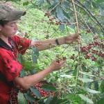 Producción de café sufre caída del 25% durante la presente campaña