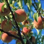 Organizan festival de durazno para fomentar corredor frutícola de la cuenca del Marañón