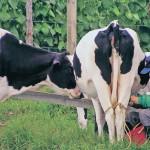 Ganaderos de Ucayali aprendieron técnicas para mejorar actividad lechera