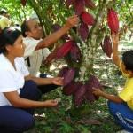 Cooperativa Agraria Naranjillo sembrará 10 hectáreas de cacao en Curimaná