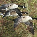 Rechazan sacrificio de miles de gansos para evitar accidentes de vuelos en Nueva York