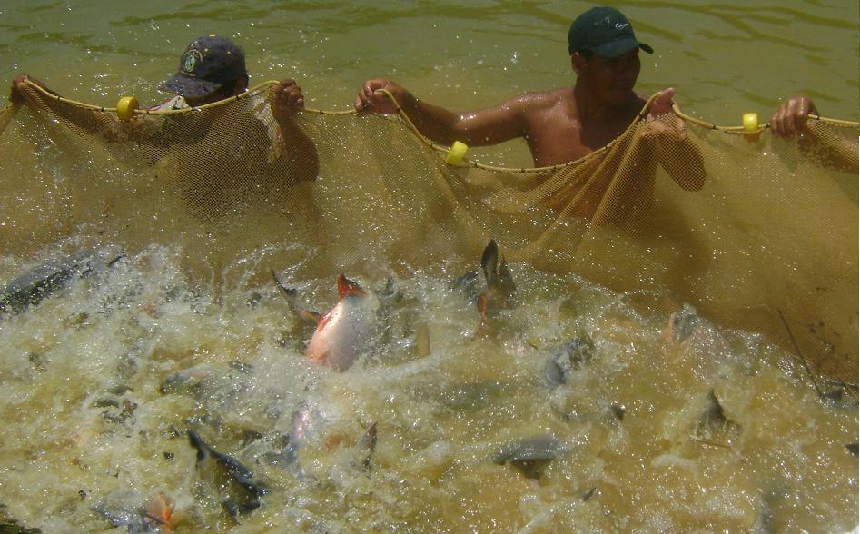 Municipio distrital de kimbiri sembr mil alevinos de for Proyecto cria de peces en estanques