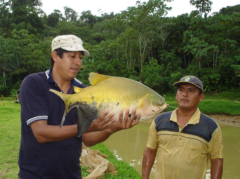 Siembran 400 mil larvas de peces en estanques de Estanques para piscicultura