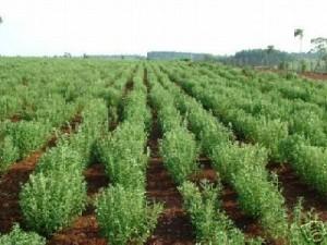 Cultivos de stevia en Aucayacu.