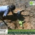 Reforestan suelos degradados por coca ilegal en Kimbiri (video)