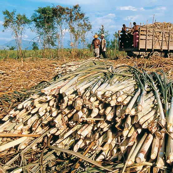 Circuito Productivo De La Caña De Azucar : Productores peruanos de caña azúcar participaran en