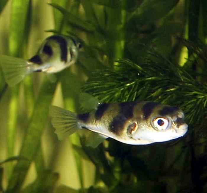 Fotos de peces amazonicos