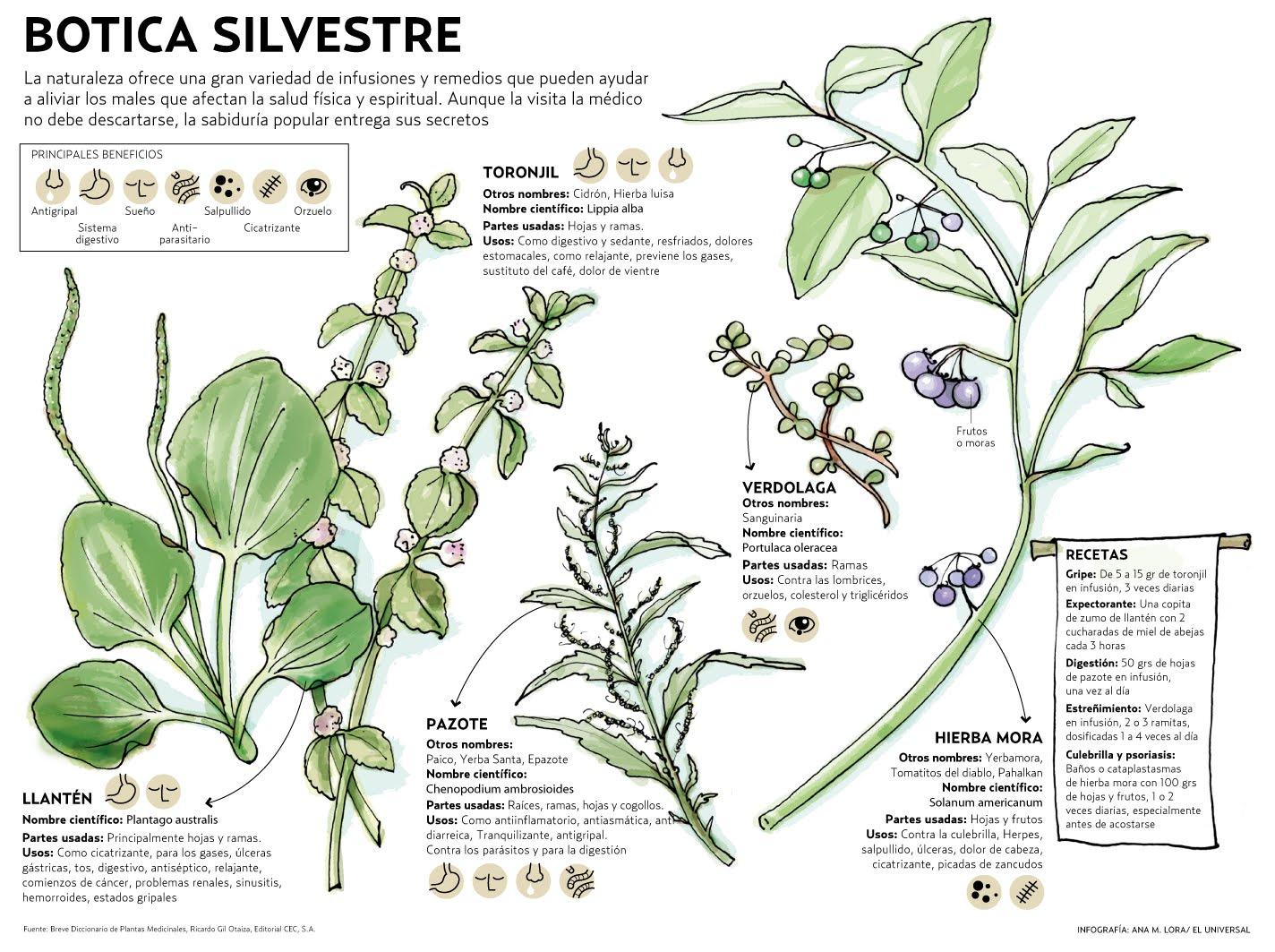 Plantas medicinales hierbas medicinales for Hierbas y plantas medicinales