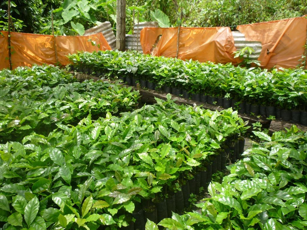 Productores de caf org nico luchan contra la plaga de la for Vivero organico