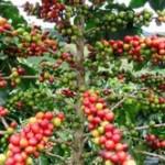 El café peruano conquista más mercados internacionales