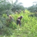 Trabajadores del CORAH erradicaron 2,612 hectáreas de coca ilegal en Tocache