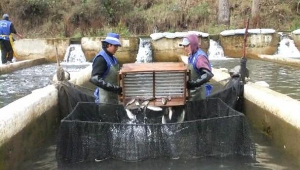 Empresa peruana crea software para mejorar la producci n for Crianza de truchas en lagunas