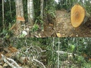 Prosigue la incautación de madera ilegal en el Vraem