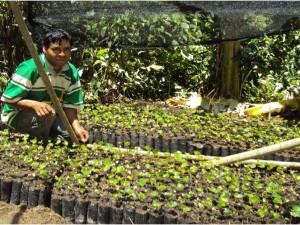 Instalan 158 fincas piloto de plantaciones de café resistentes a la roya en Satipo