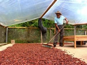 Caficultores y cacaoteros de Satipo incursionan en producción agroforestal