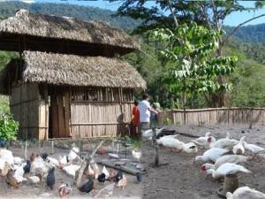 Entregan animales menores en cuatro comunidades nativas de Satipo