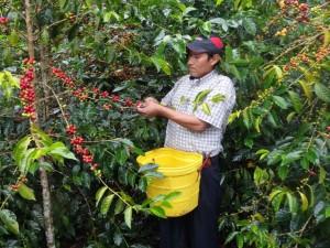 Huánuco elevó producción del café y cacao en más del 40%