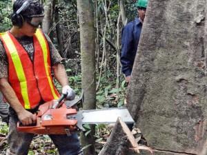 Comunidades nativas exportarán madera certificada por primera vez