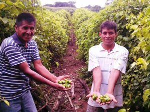 San Martín: Gobierno Regional fortalece productividad de Sacha Inchi