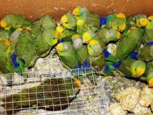 """Junín: Rescatan a 26 aves amazónicas que eran comercializadas en feria """"Junín Chico"""""""