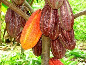 Huánuco: Cooperativa exportó 20 toneladas de cacao hacia Dinamarca