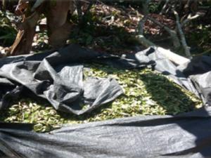 Tingo María: PNP decomisó 230 kilos de hoja de coca