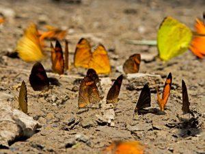 Ucayali: 150 especies de mariposas son registradas en Parque Nacional Sierra del Divisor