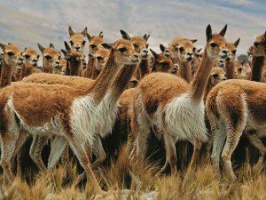 Se realizará II Congreso Nacional de Comunidades Conservacionistas de Vicuñas del Perú