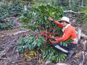 Vraem: Fortalecerán producción de familias cafetaleras de Ayahuanco