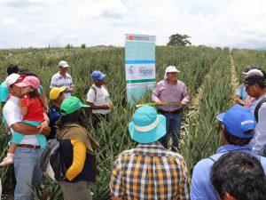 Satipo: Agricultores optimizarán producción de piña