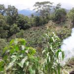 Tingo María: PNP destruyó tres hectáreas de marihuana