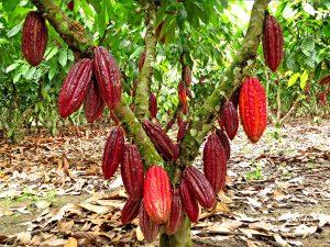 Alertan sobre mal uso de plaguicidas entre cacaoteros del Huallaga