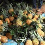 Cambio climático afectó producción de piña en el Vraem