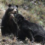 Elevada presencia del oso andino en Santuario Histórico de Machupicchu
