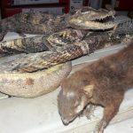 Tingo María: Combaten comercio ilegal de animales silvestres