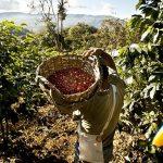 Niño costero golpea al mercado del café