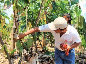San Martín: Productores de Palestina optimizarán cultivo del cacao