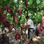 Tocache: Instalarán unas 236 hectáreas de cacao