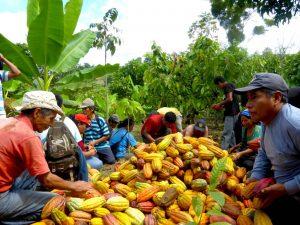 Proyectan comercialización de mil toneladas de cacao orgánico en el Vraem