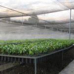 Renuevan cerca de 200 hectáreas con café de última generación