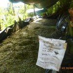 Vraem: Destruyen seis pozas de maceración de hoja de coca
