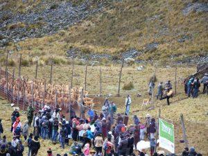 Cientos de visitantes apreciaron chaccu de vicuñas en ACR Huaytapallana