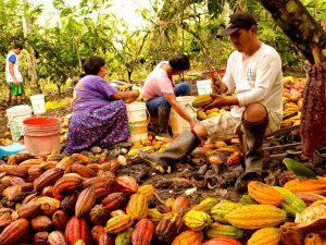 Promueven certificación huella de carbono en organizaciones cacaoteras del Alto Huallaga