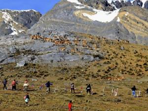 Unos 500 visitantes apreciaron el chaccu de vicuñas de la RP Nor Yauyos Cochas