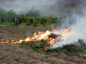 Vraem: Policía destruyó 120 mil plantones de marihuana en Ayacucho