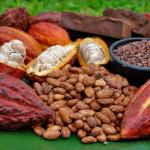 Alistan Simposio Internacional sobre el cacao