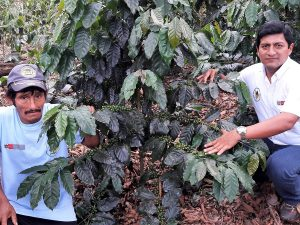 San Martín: Impulsan cultivo del café en Uchiza
