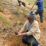 Tarma: Reforestan dos hectáreas usando plantones de pinos