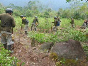 Corah erradica hoja de coca ilegal en Tocache y Uchiza
