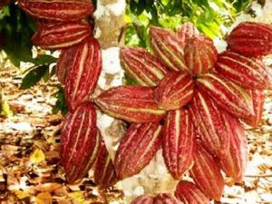 San Martín: Impulsan la reducción del cadmio en producción cacaotera